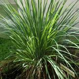 - Citronella, Lemongrass 5 ks semien